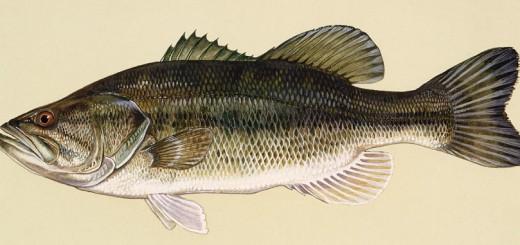 sudak balığı